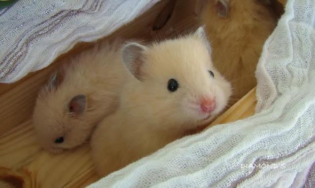 Cách nuôi và chăm sóc chuột hamster bear nhanh lớn