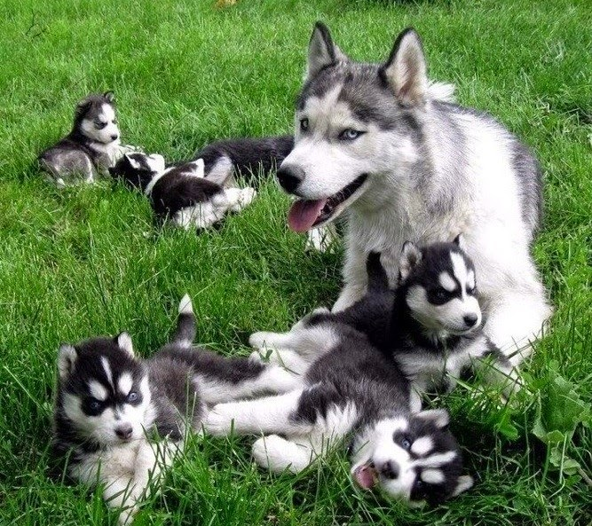White Wolf : 15 Cute Husky Puppy Pictures Are Going To ...