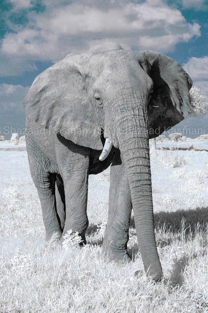 Elephants Kenya, Elephant, Wild Kenya Safaris, www.wildkenyasafaris.com, Infrared Wildlife Photography, Safari in Kenya, Kenia Safari In Tsavo Ost, Shazaad Kasmani, Tsavo elephant, Tsavo Safari