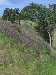 Purple vetch carpeting a hillside along the road to Henry Coe State Park, Morgan Hill, California