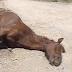 La otra cara de El Rocío 2017: diez caballos y un buey muertos