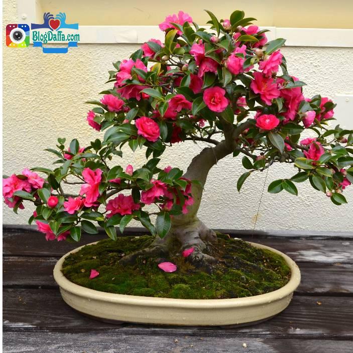 Bonsai bunga Kamelia