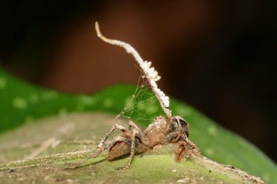 Cordyceps unilateralis neutralized by unidentified hyperparasite