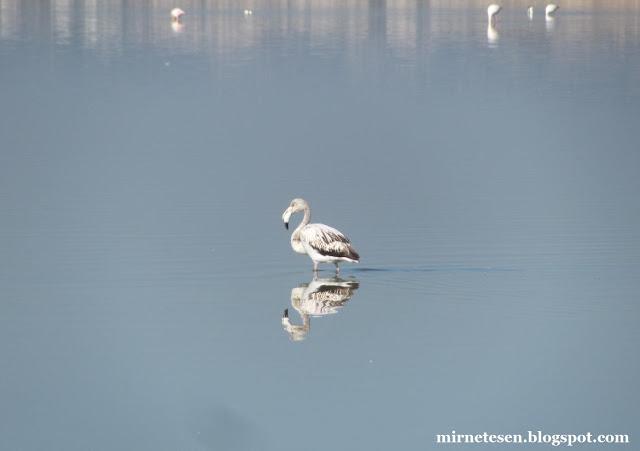 Солёное озеро в Ларнаке - молодой фламинго