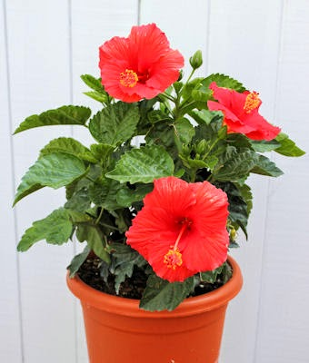 Hibiscus Flowershop Blog How To Winterize Your Hibiscus