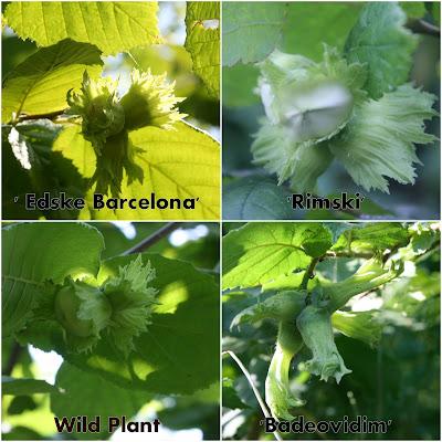 Hazelnut_cultivars_permaculture%2B.jpg