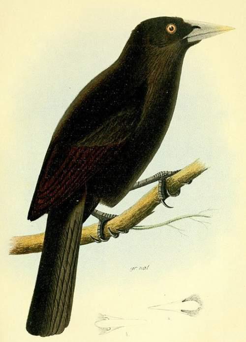Ecuadorian cacique - Cacicus sclateri