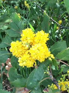 A native in the garden: Oregon grape