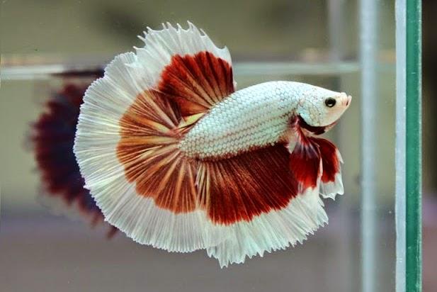 Jenis Jenis Ikan Cupang
