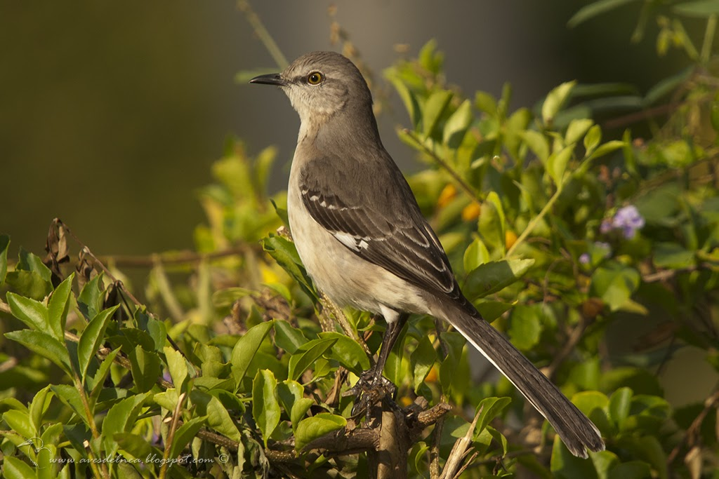 Sinsonte Común (Northern Mockingbird) Mimus polyglottos (Linnaeus, 1758)