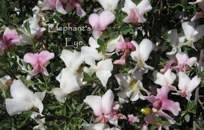 Podalyria sweetpea bush