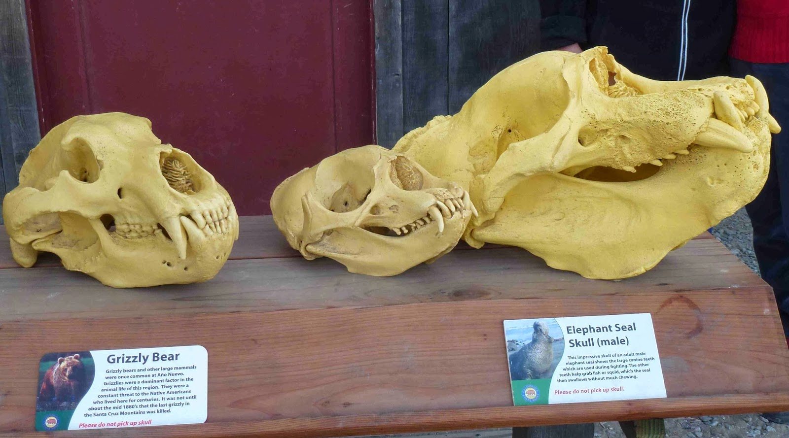 Grizzly skull is significantly larger than the female elephant seal's but the male elephant seal skull is more than twice as large.