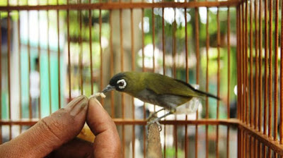 Harga Jual/Beli Burung Pleci Pacitan