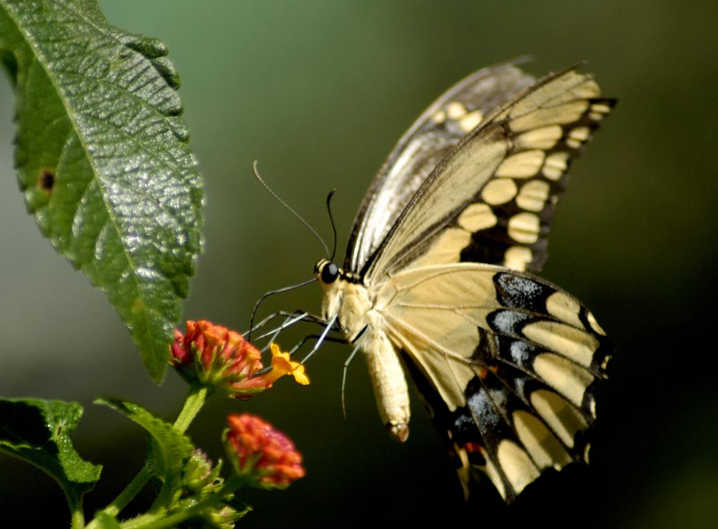 butterfly pictures butterflys pictures pictures of