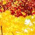 Sắc vàng mùa thu tại đảo Nami - Hàn Quốc