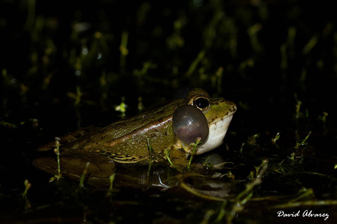 Naturaleza Cantábrica: Sexo en la ciudad: las ranas urbanas son más sexys  que las del bosque