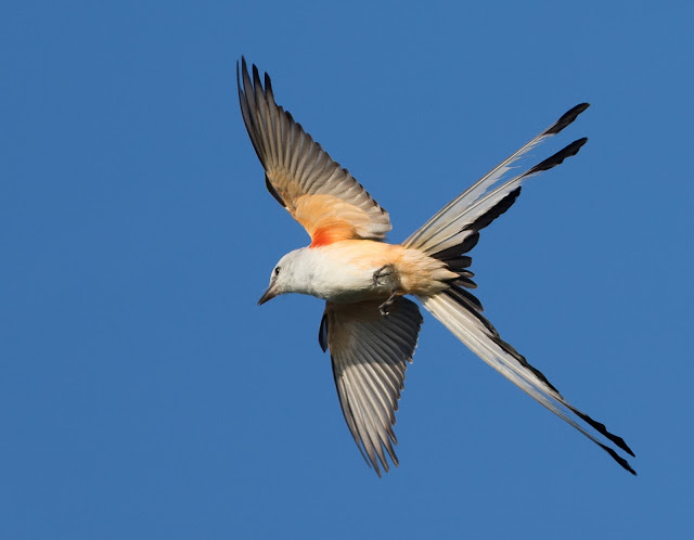 Scissor-tailed Flycatcher - Clewiston, Florida