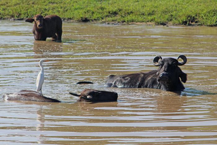 Wasserbüffel mit Reiher im Udawalawe Nationalpark, Sri Lanka