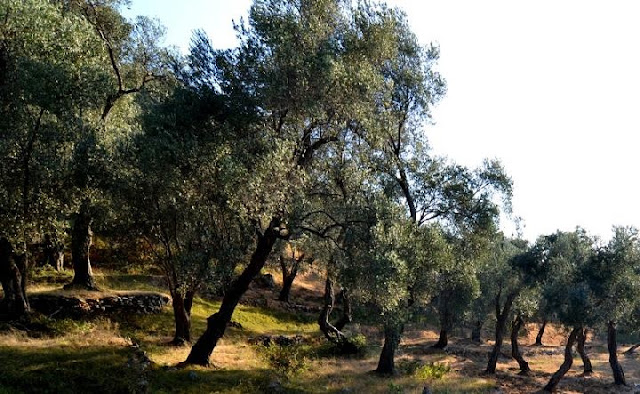 50 thousand olive trees for the greenery of Vlora hills