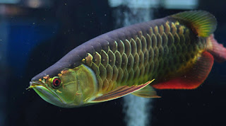 Ikan Arwana Golden