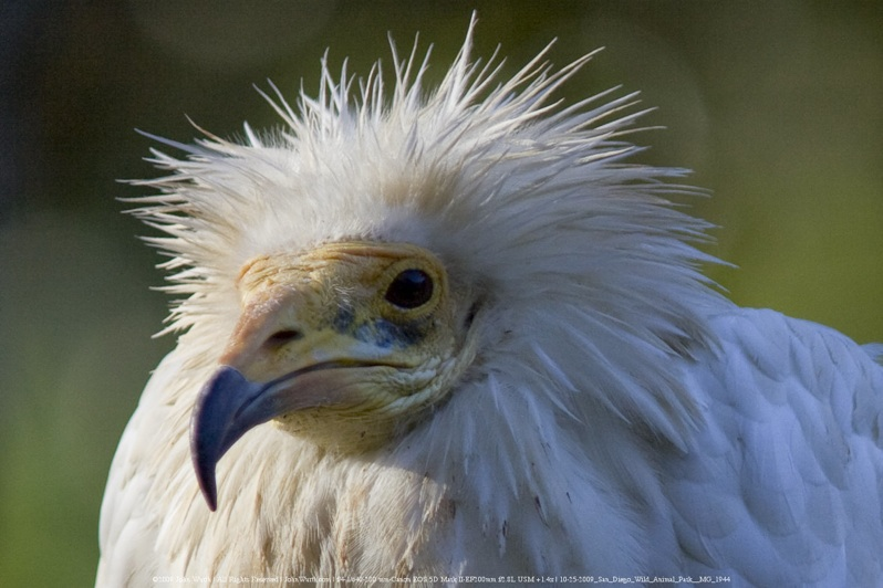 egyptian vulture drawing - photo #19
