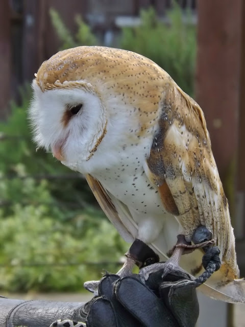 Wilbur The Barn Owl Interesting Facts