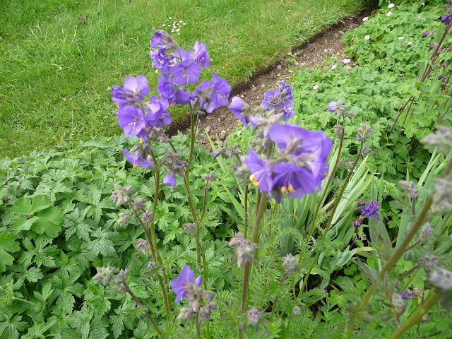 How to prune the herbaceous perennial Jacob's ladder Polemonium caeruleum
