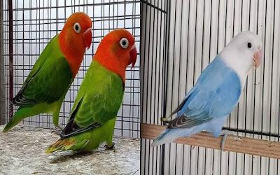 jenis warna lovebird termahal dan tercantik