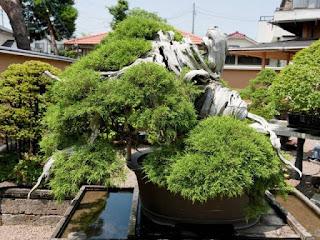 Juniper Bonsai Tree in Mansei-en, Japan