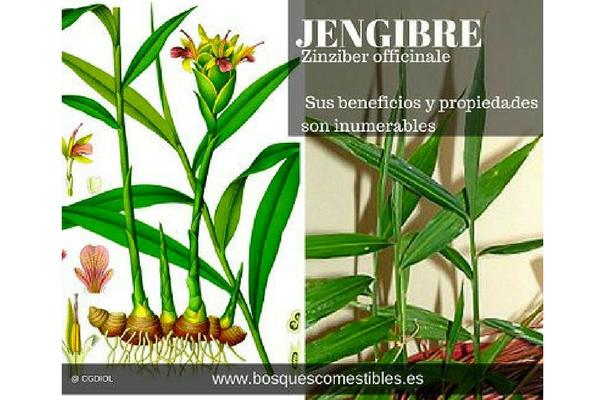 El jengibre, Zinziber officinale, es una raíz con innumerables propiedades medicinales