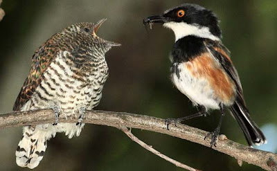 nidos de aves parasitadas por Cuco klaas