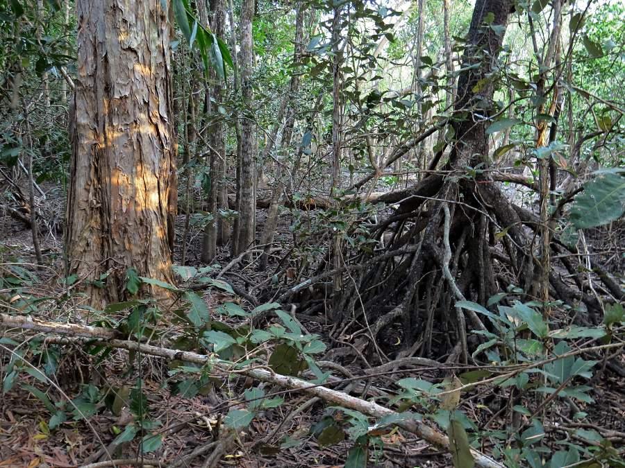Mangrove edge, landward zone