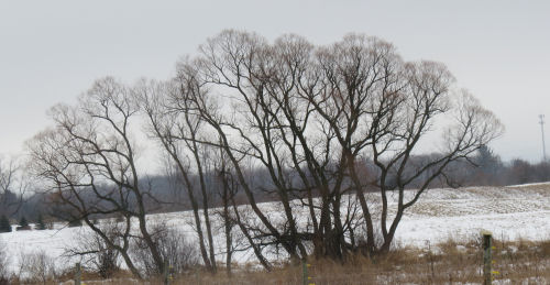 black willow trees winter
