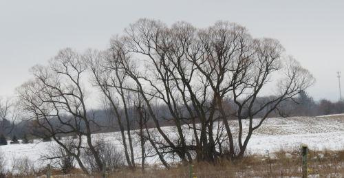 black willow trees winter