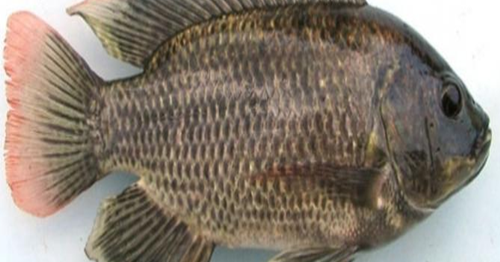 Erek Erek Ikan Nila Kekinian