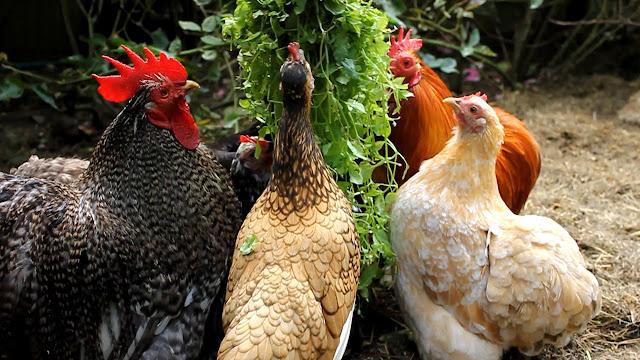 Cochin Pekin choosing chickens for a backyard