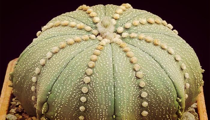 Cactus de las estrellas