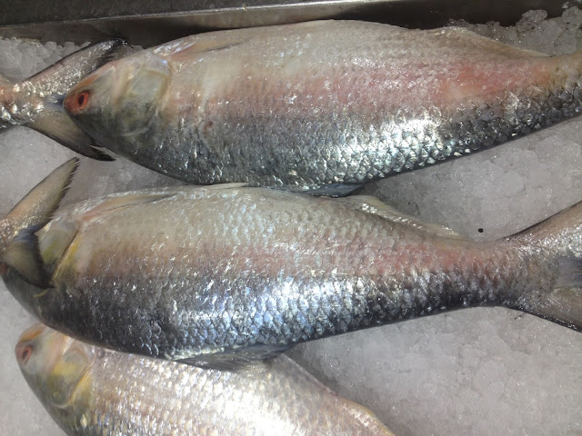 Horizontal view of Hilsa fish