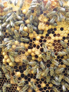 Drone brood and queen cups