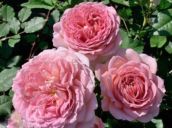 Jubilee Celebration  сорт розы фото остин купить саженцы в питомнике Минск
