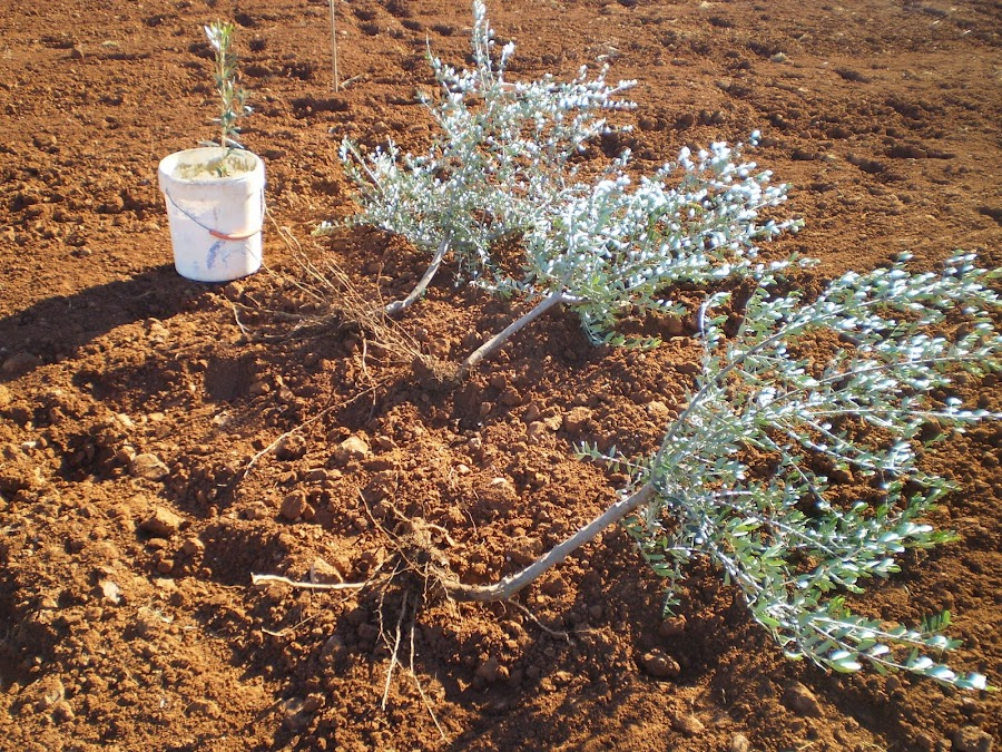 Plantar olivos estaca