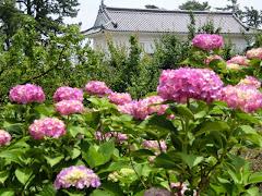小田原城のアジサイ