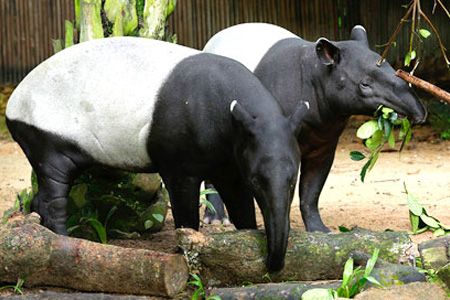 Tapirs Animals Facts And Images All Wildlife Photographs