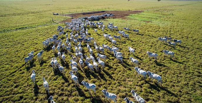 gado-no-pasto-tocando-boiada-drone-galeria-animal-nelore-boi-foto-aerea