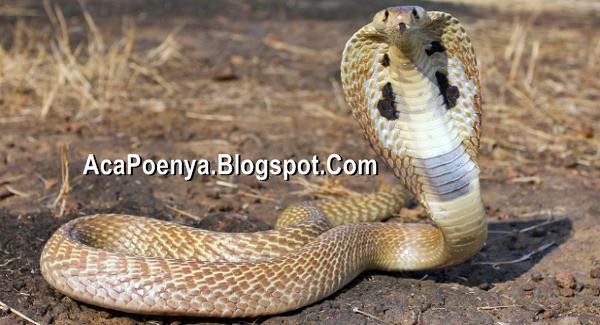 Ular Cobra Beracun