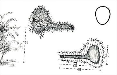 Pijuí cola parda Synallaxis albescens