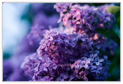 "Poem: ""A Gift of Lilacs"""