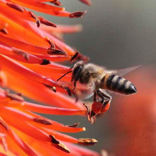 bunga tawon