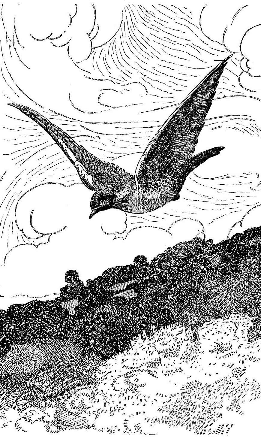 a Charles Robinson pen and ink illustration of a flying bird