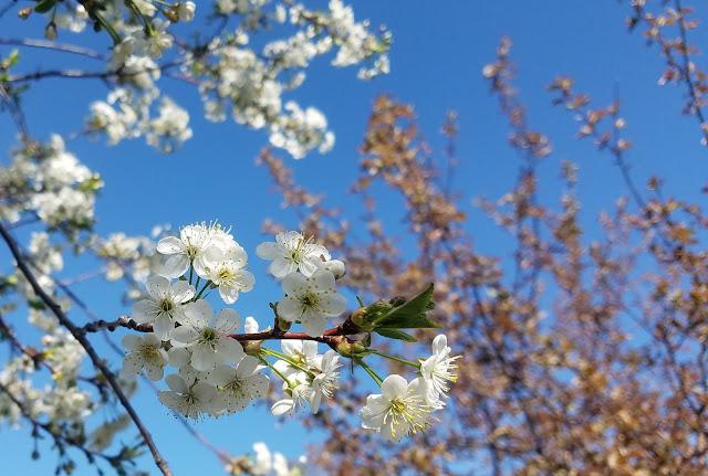 мгновения весны...цветёт вишня